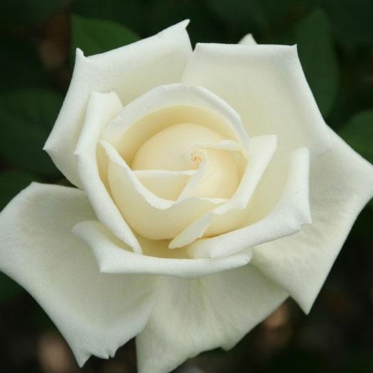 Oudste roos - Kaiserin Auguste Victoria